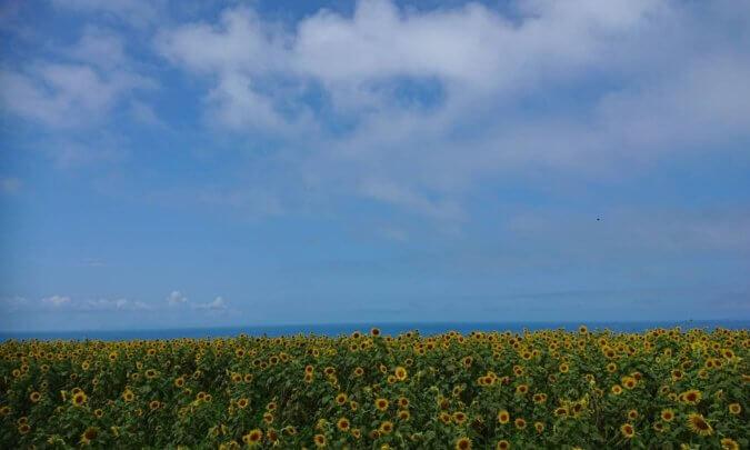 長崎鼻灯台近くの向日葵畑